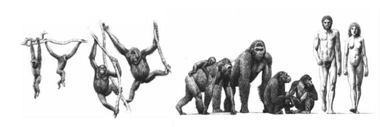 antropoides