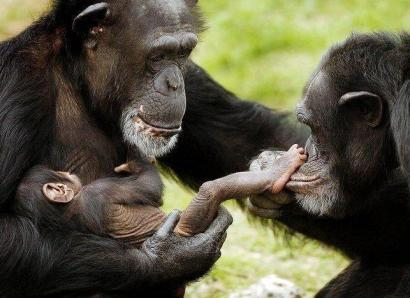 chimpances-familia