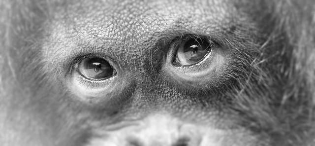 Mirada-de-Orangutan (2)