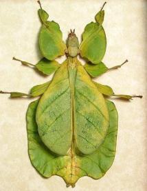insecto hoja Phyllium