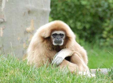 White-handed_Gibbon_Hylobates_lar_Orange_1900px