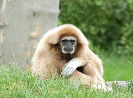 White-handed_Gibbon_Hylobates_lar_Orange_1900px