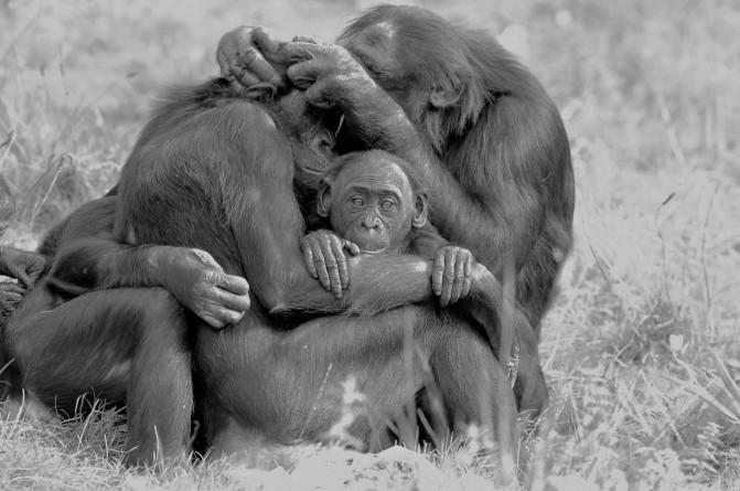 bonobos grooming (2)