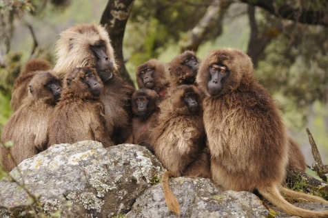 Gelada_group