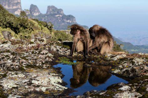 Gelada Baboons Grooming on Cliff Edge