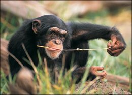 chimp-with-twig