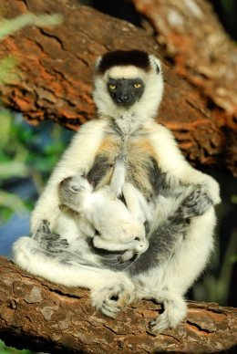 TH 156889233 Mother verreauxs sifaka suckling her baby in madagascar
